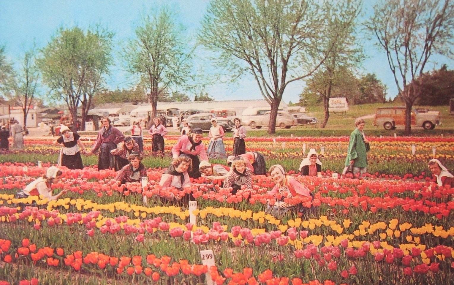 Tulip fields in Holland, Michigan 1960's era postcard 1