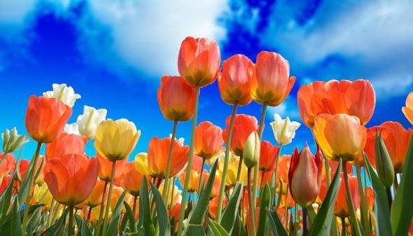 2019 01-17 kareni on pixabay tulips-3251607_640